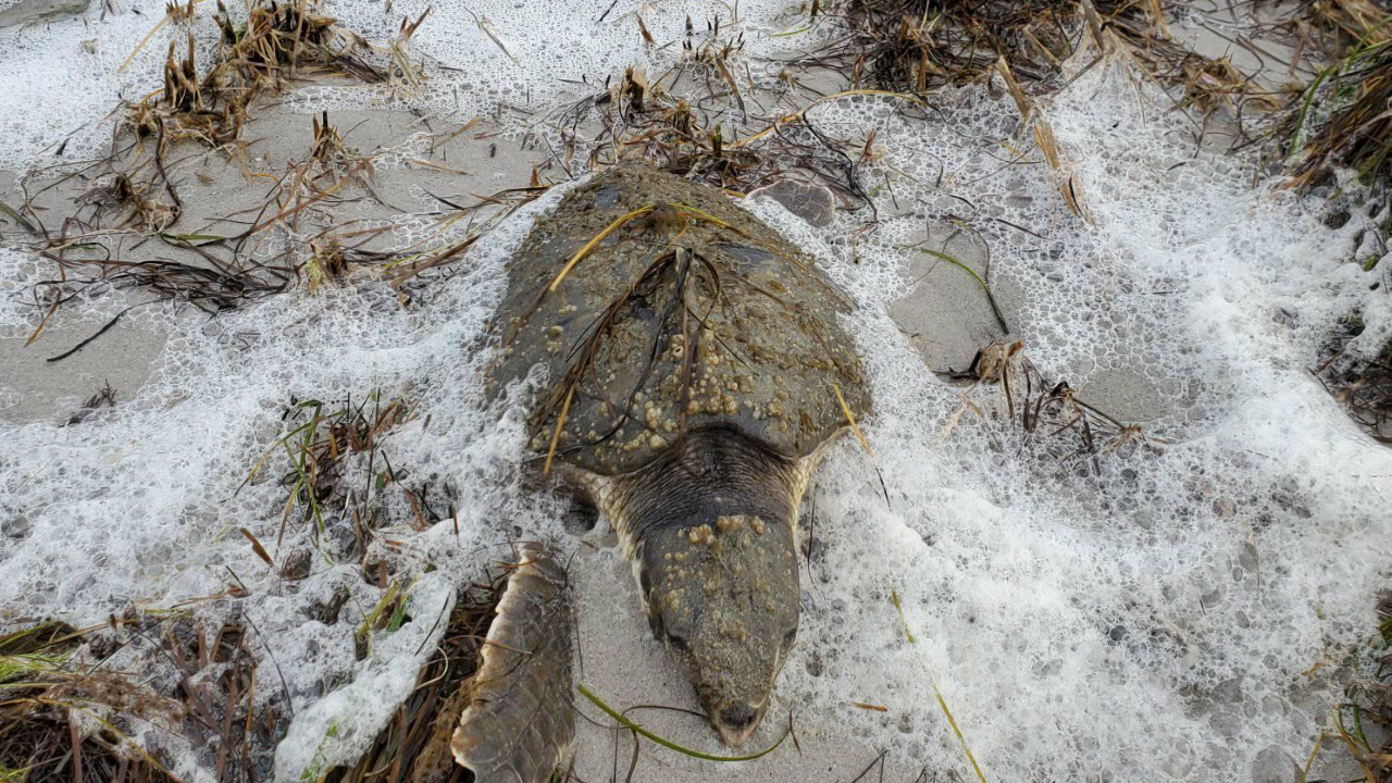 Nearly 100 cold-stunned turtles rescued Tuesday on southern OuterBanks