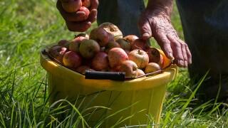 Ohio orchards say rain, heat spoiled popular Honeycrisp crop