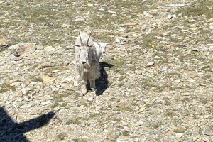 Mountain goats at Stonewall Mountain Lookout