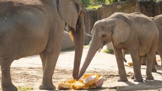 Elephants share a 1300 Pound Pumpkin