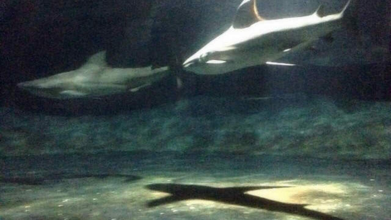 Win chance to swim with bull sharks at Oklahoma Aquarium