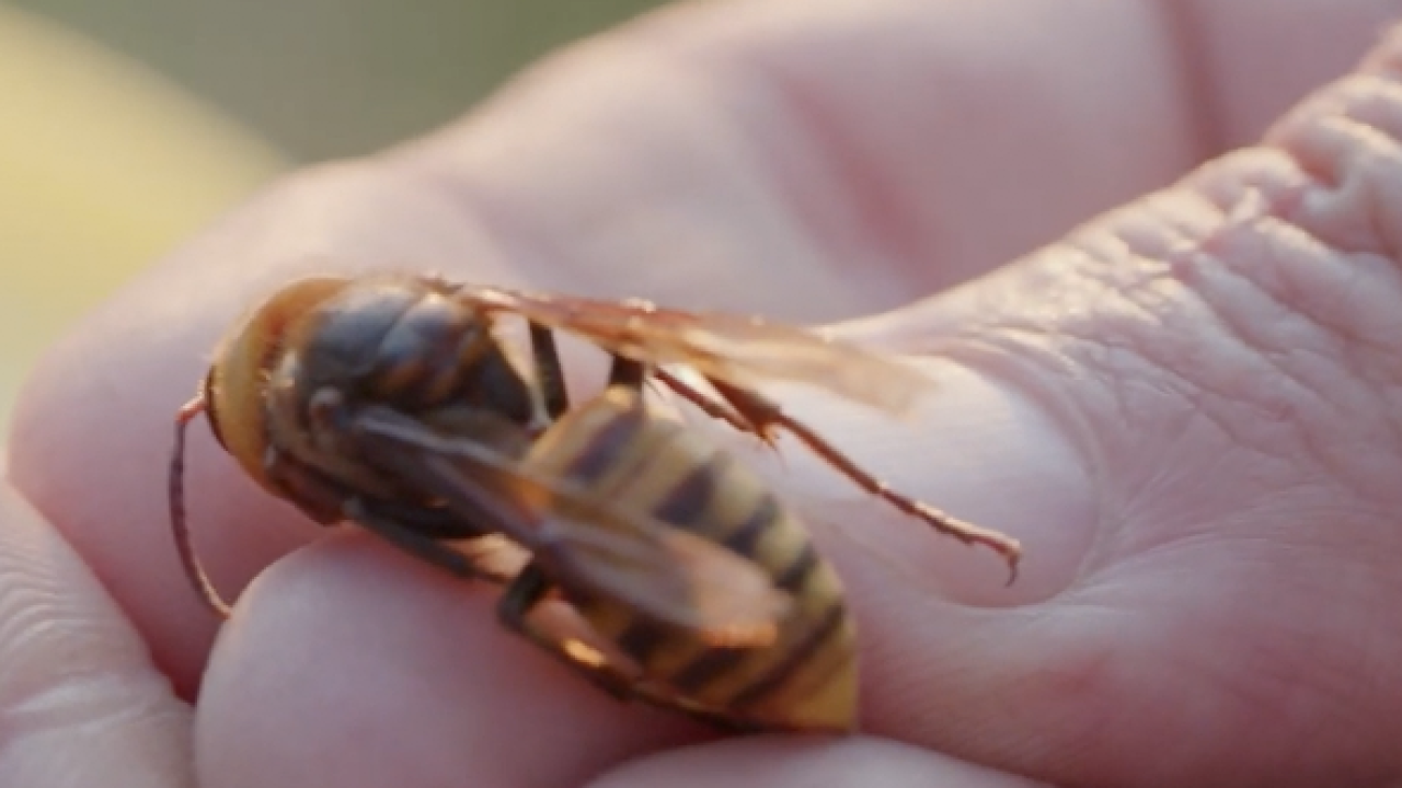 Asian Giant Hornet size comparison (in hand).png