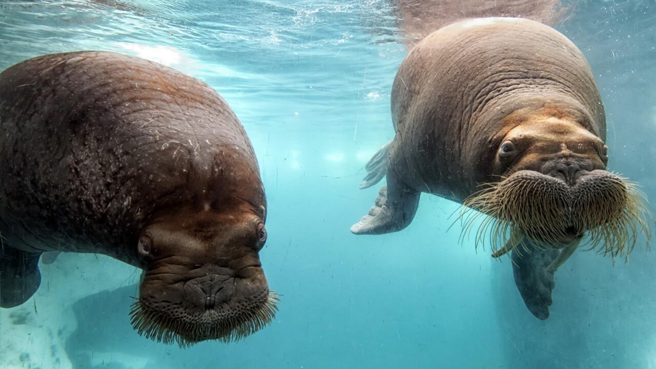 Walruses at Wild Arctic.jpg