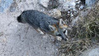 Fox in Sabino Canyon