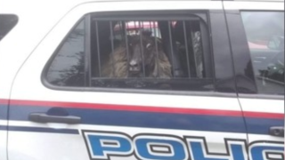Sheep in Middletown police car.png