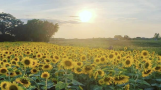 Farmer Planted 2 Million Sunflowers To Lift People's Spirits During The Pandemic
