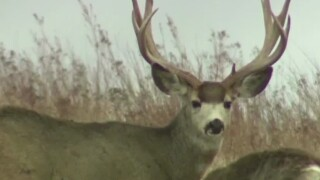 Southwest Montana deer hunting season extended to limit the spread of Chronic Wasting Disease