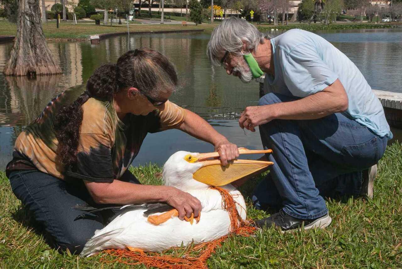 american white pelican1.jpg