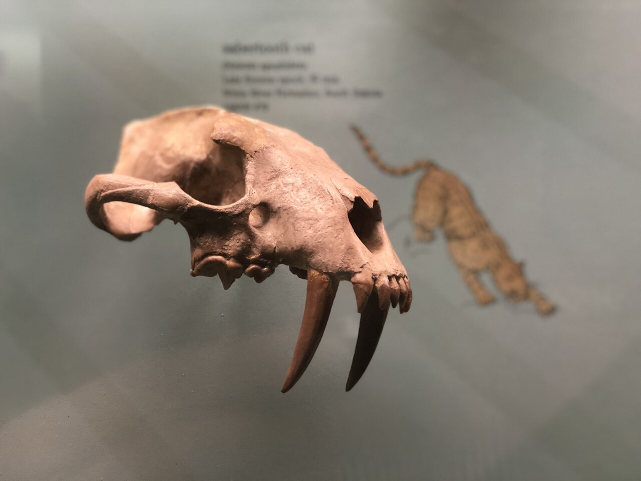 Denver Museum of Nature & Science sabertooth skull