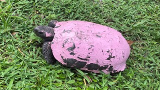 gopher tortoise painted pink