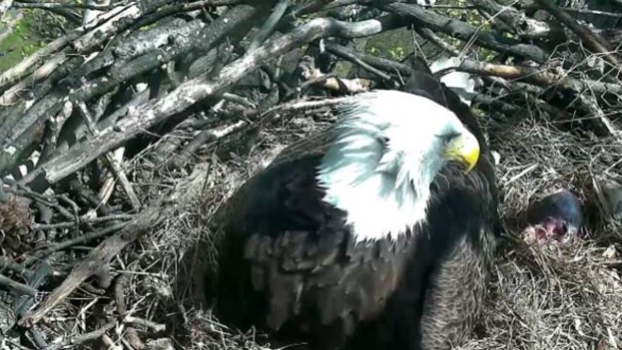 WATCH: Bald Eagle Nest Cam captures eaglet birth