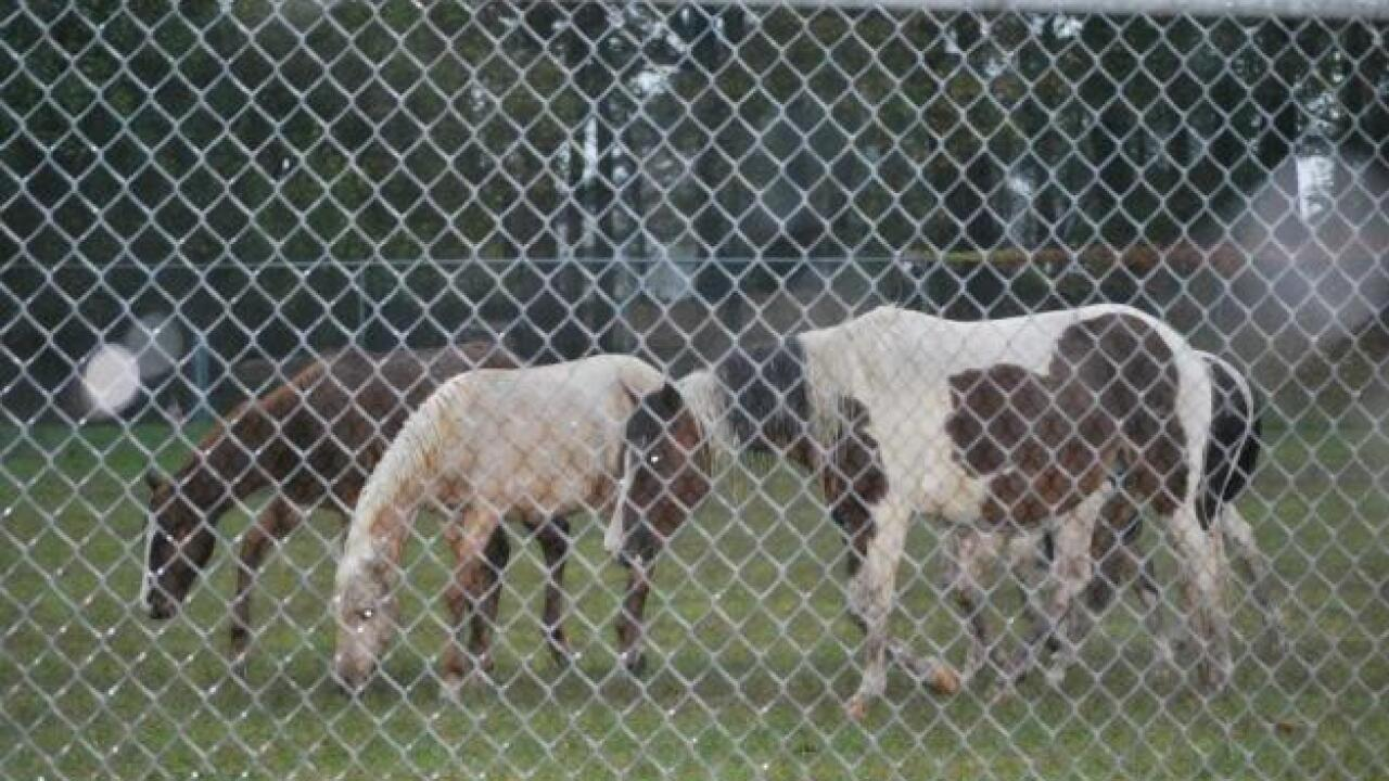 Chincoteague ponies push to higher ground as Sandy floods the island