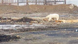 Hungry Polar Bear Norilsk