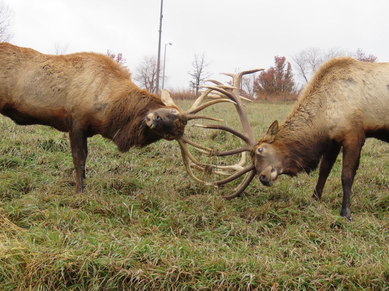 Elk rutting at Simmons Wildlife Park