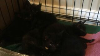 Kittens found in Plainfield in a lumber shipment from Louisville