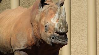 Howie the Rhino