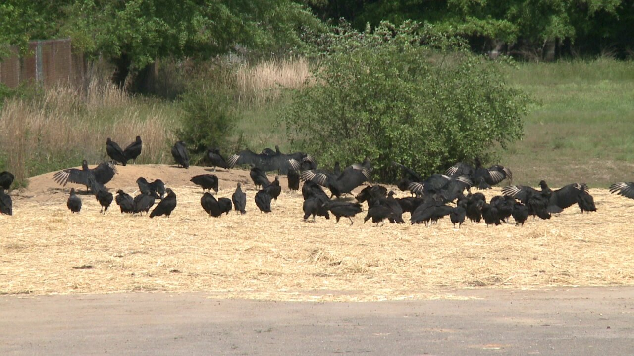 Mom fearful of 'over 100' vultures roosting byschool