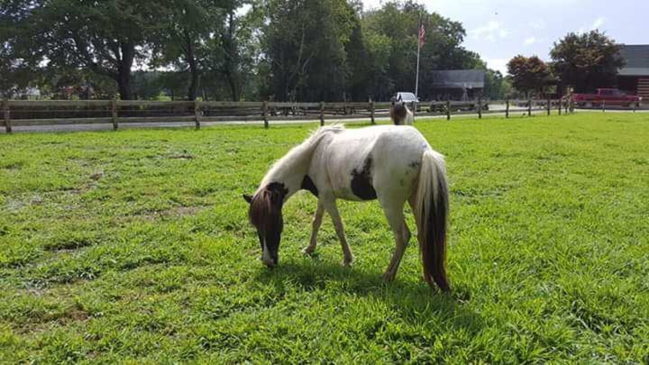 Chesapeake family searching for missing miniature horse