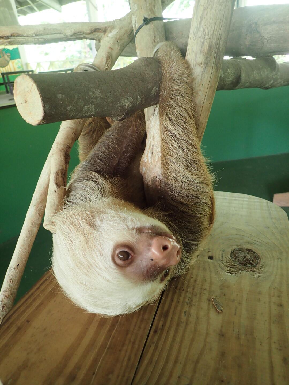 Baby Sloths (16).JPG