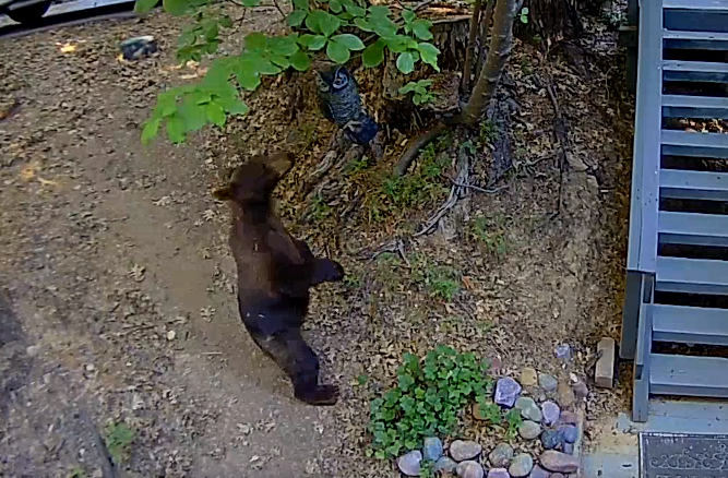Bear captured on Ring video in Lake Arrowhead on July 9