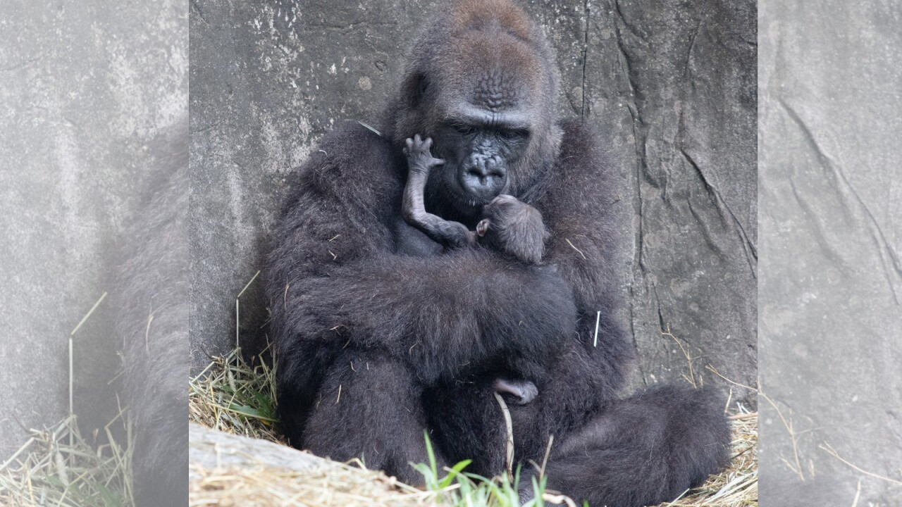 Critically endangered gorilla has baby at New Orleans zoo