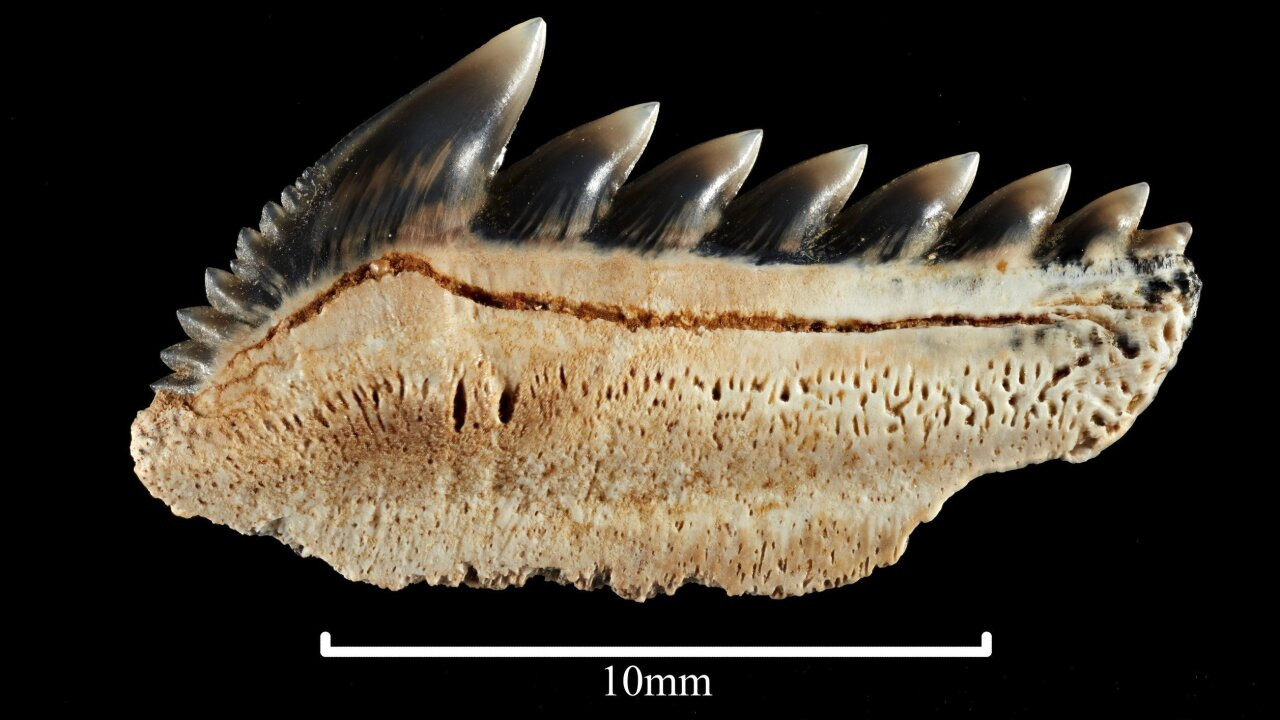 Man stumbles upon rare 25-million-year-old teeth of mega-toothed shark