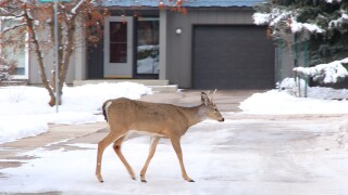 Missoula to count urban deer