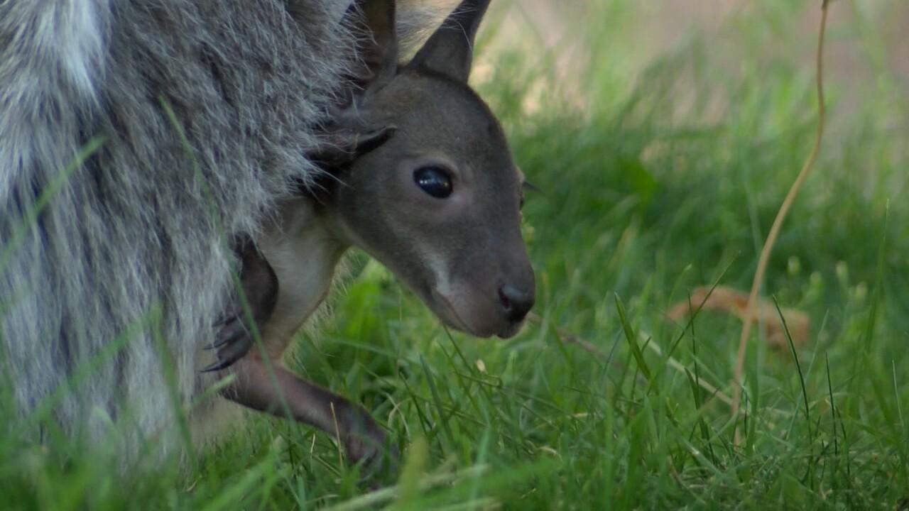 Wallaby joey at Cheyenne Mountain Zoo