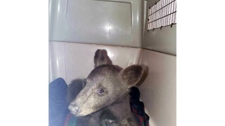 Western Wildfires Bear Rescued