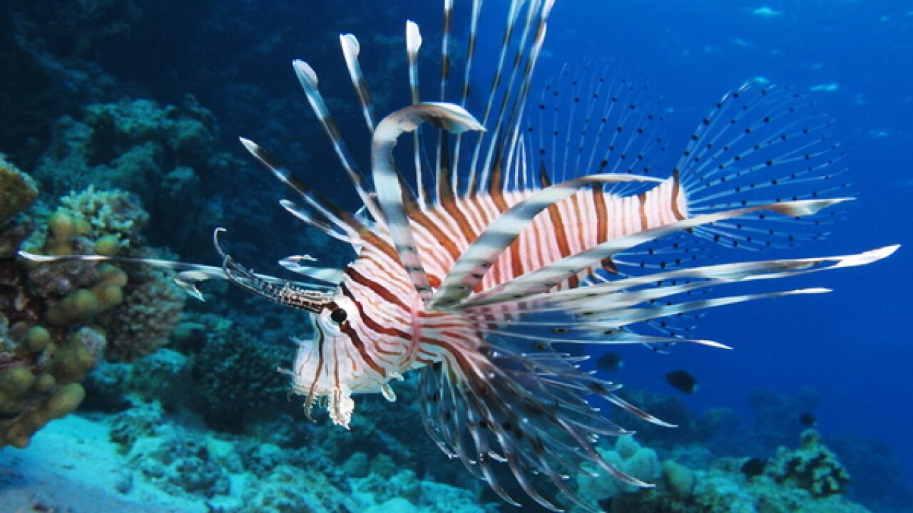 Lionfish population threatens native FL species