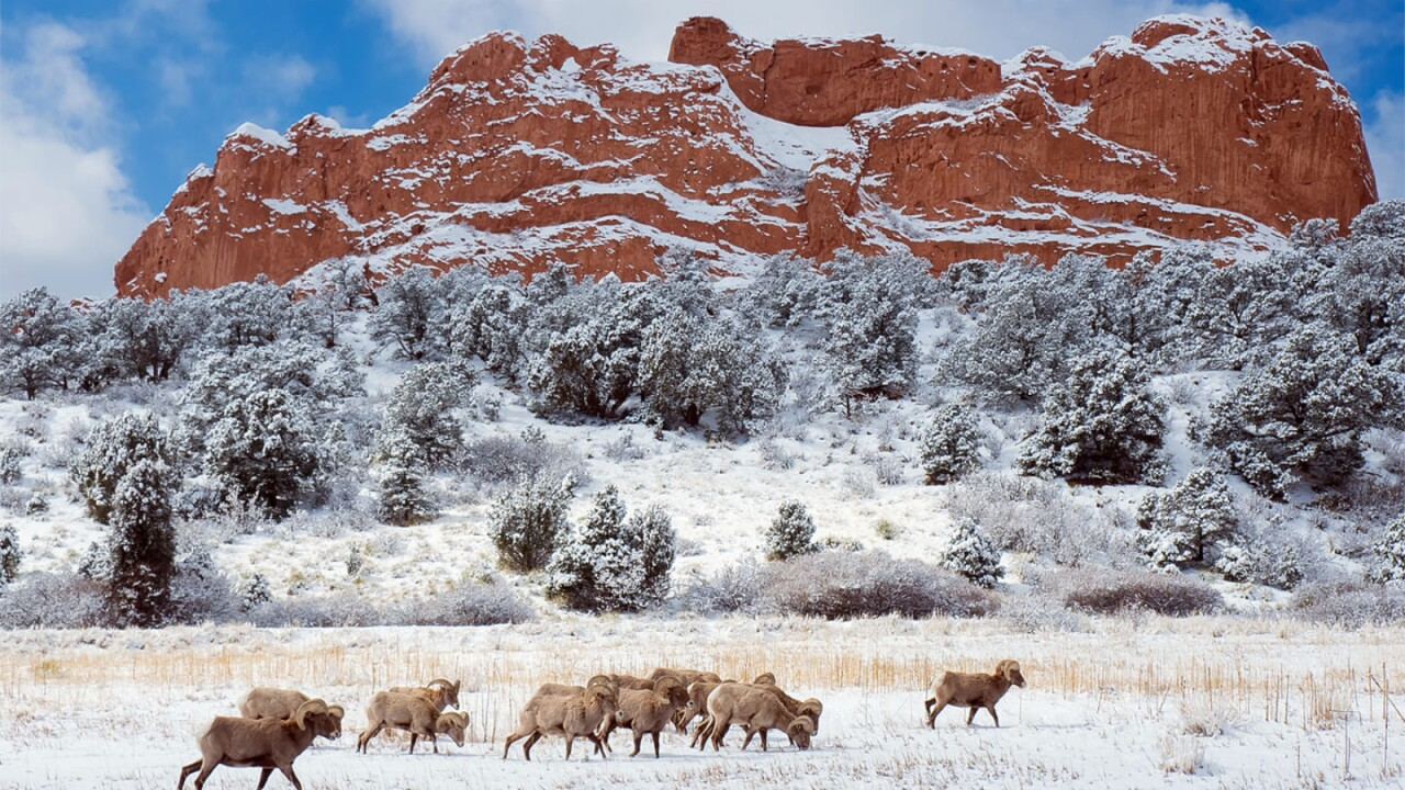 Rams at Garden of the Gods