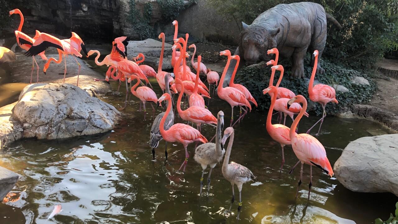 flamingo Charles Paddock zoo