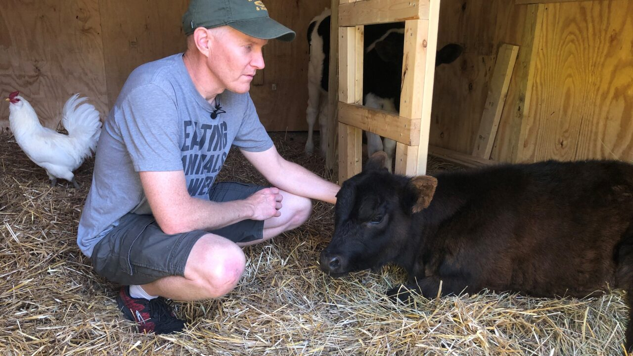 Williamsburg family takes action for injured pet cow