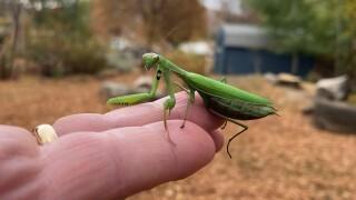 European Praying Mantis