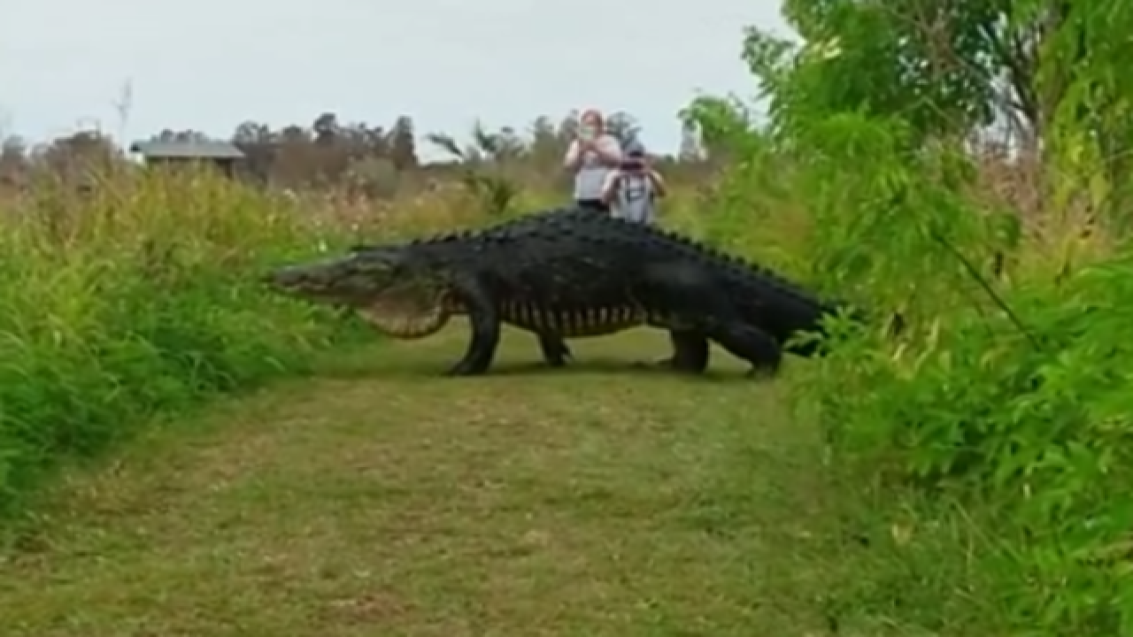 VIDEO: Huge gator spotted in Lakeland