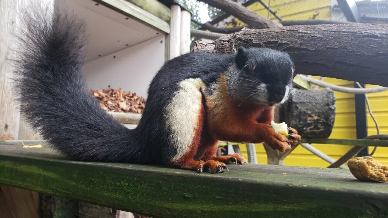 Prevost squirrels