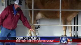 Cow on campus at Menger Elementary School