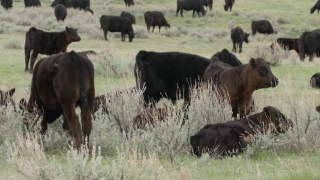 Montana Ag Network: July cattle survey is approaching
