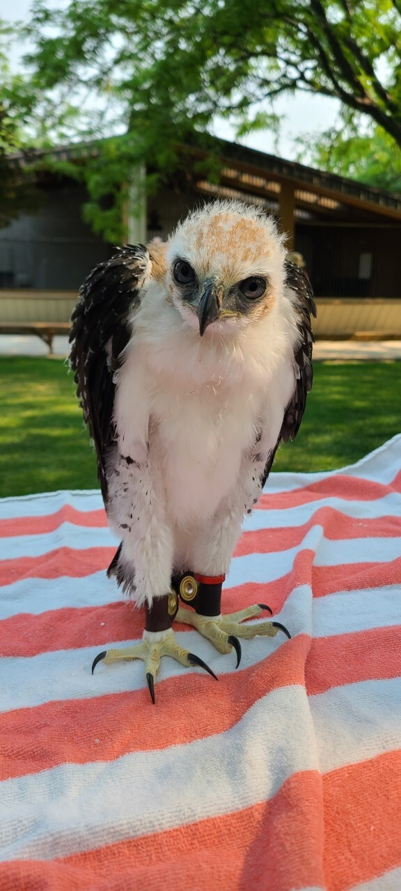 A photo of a baby Ornate Hawk-eagle standing on a striped towel at the World Center for Birds of Prey.
