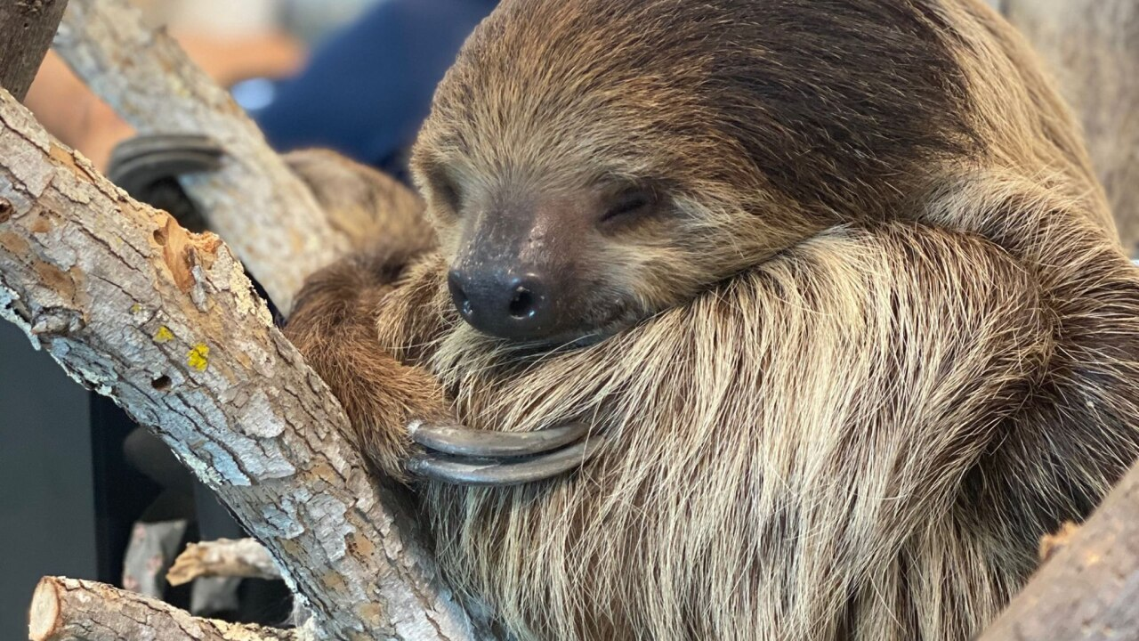Chico, our Linnaeus's two-toed sloth