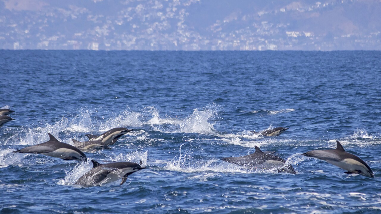 Dolphin stampede greets Southern California whale watchers