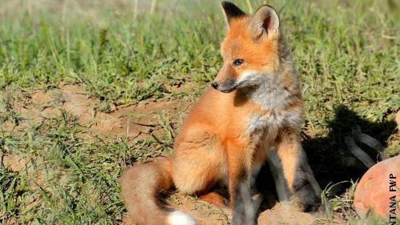 ph red fox.jpg