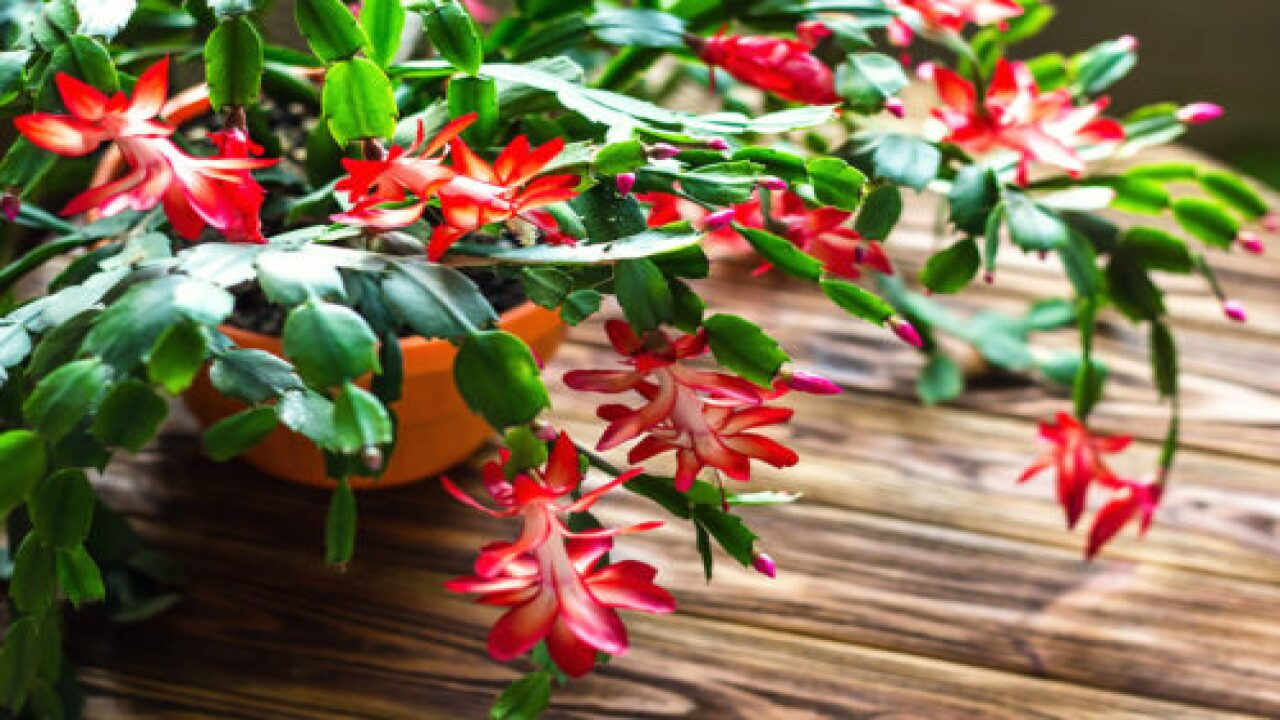 What To Know About The Thanksgiving Cactus And The Christmas Cactus