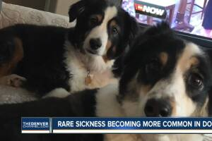 Highlands Ranch family's dog dies of leptospirosis; veterinarian says cases becoming more common