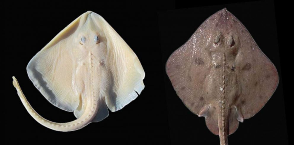 Some of the most rarely seen albinos on the planet are deep-water sharks.Some of the most rarely seen albinos on the planet are deep-water sharks. James D.S. Knuckey via Inside Science