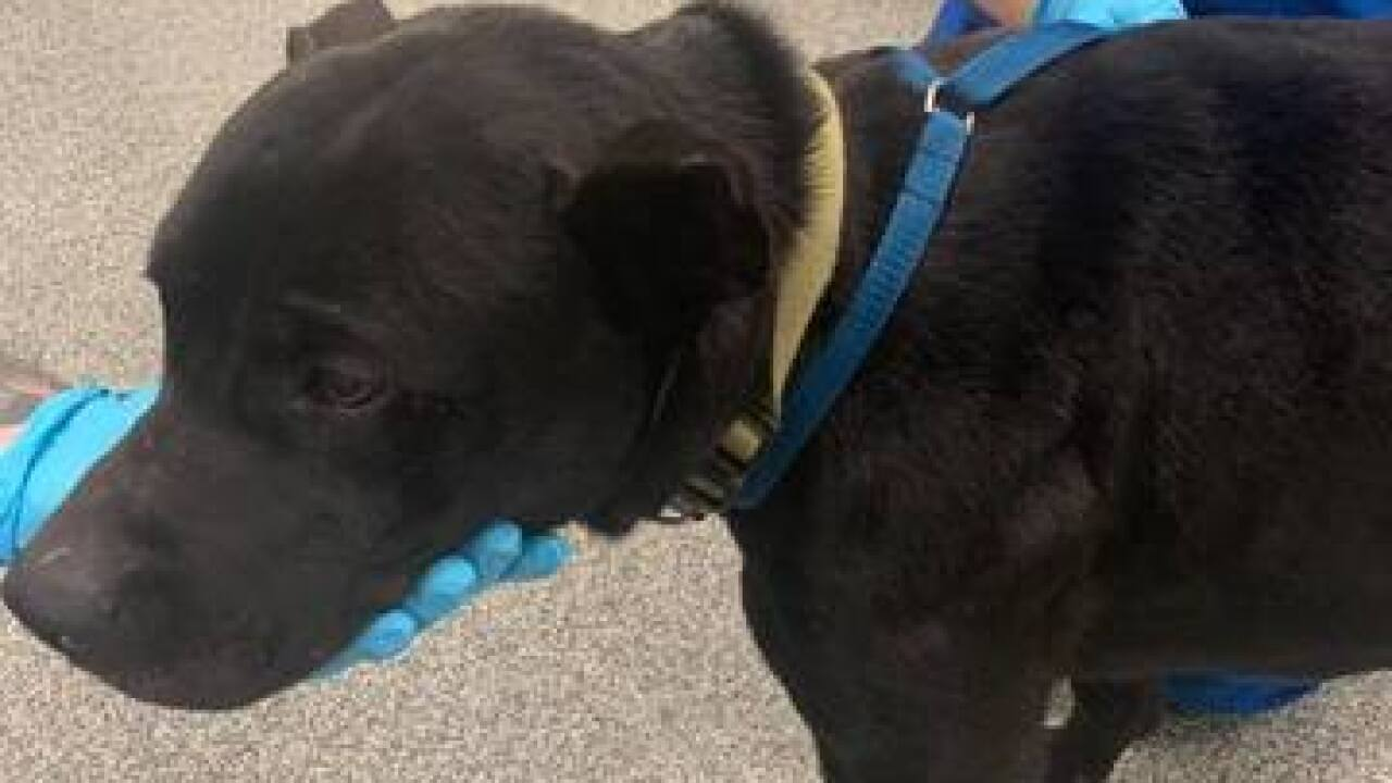 Martinsville PD looking for pit bull owner