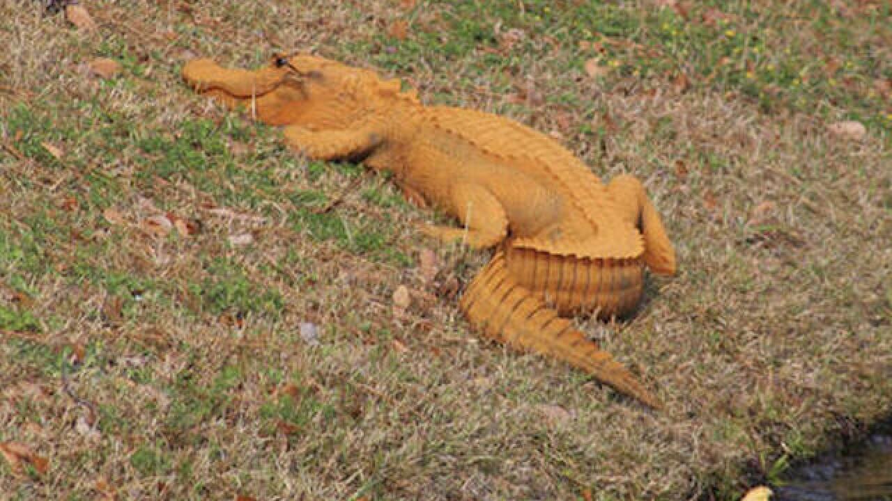 Orange alligator spotted in SC