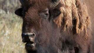 VIDEO: Family in rental car caught in bison stampede at Yellowstone National Park