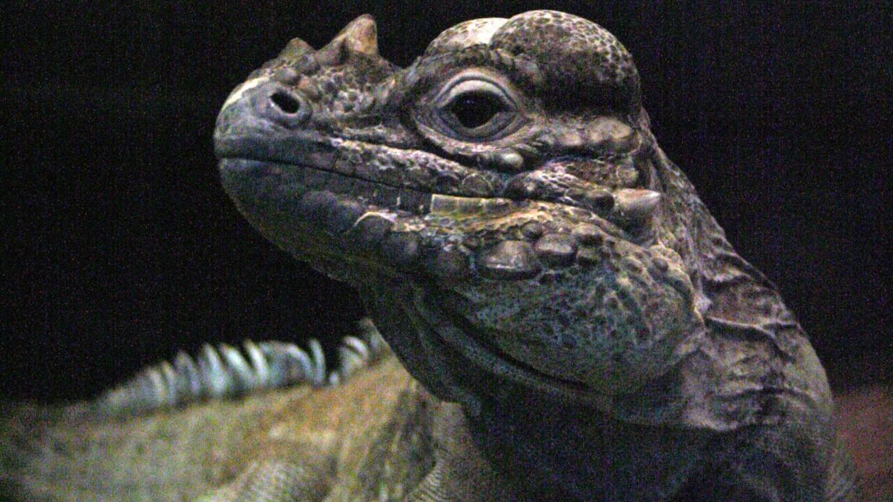 Rhinoceros iguana.JPG