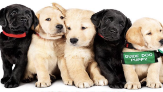 You Can Now Watch A Documentary About 5 Puppies Being Trained To Become Guide Dogs On Netflix